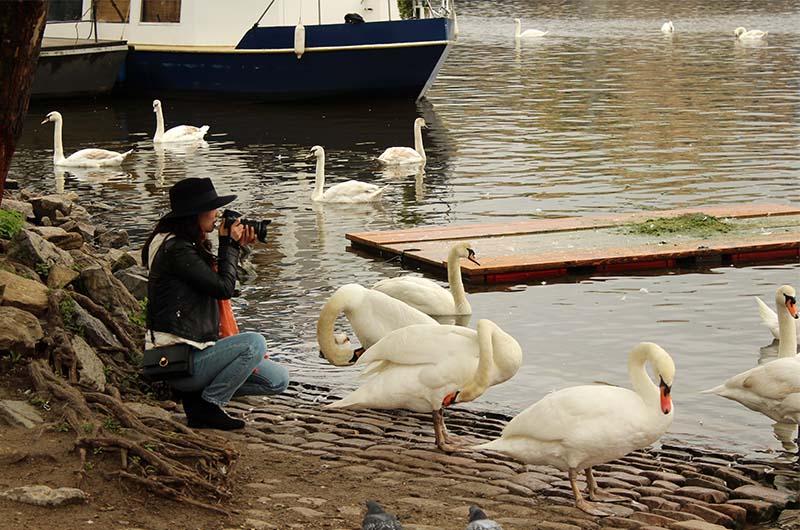 Женщина фотографирует лебедей с близкого расстояния.