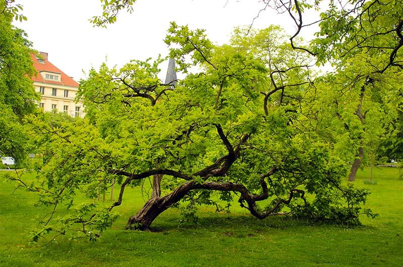 Такие деревья создают настроение парка.