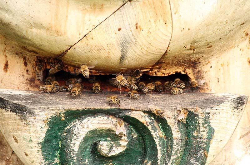 Пчелы у летка колоды.